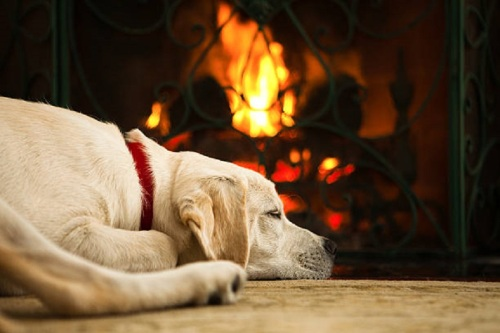 Yellow Lab by Fire Place